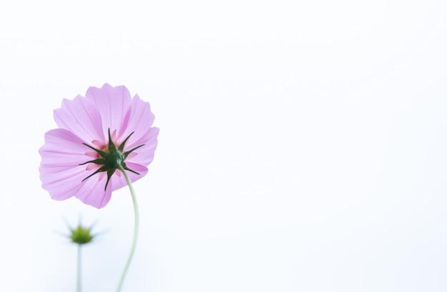 コピースペースを持つ美しいソフトセレクティブフォーカスピンクと白のコスモスの花フィールド