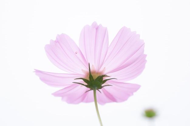 コピースペースを持つ美しいソフトセレクティブフォーカスピンクコスモスの花フィールド