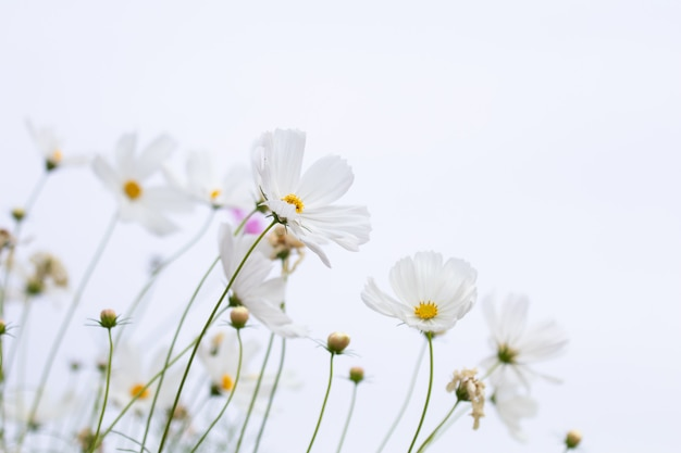 Beautiful soft selective focus pink and white cosmos flowers field with copy space