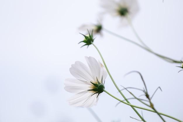 コピースペースを持つ美しいソフトセレクティブフォーカス白いコスモスの花のフィールド
