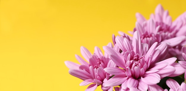 Beautiful soft spring background. banner with pink chrysanthemums on a yellow background with space for text.