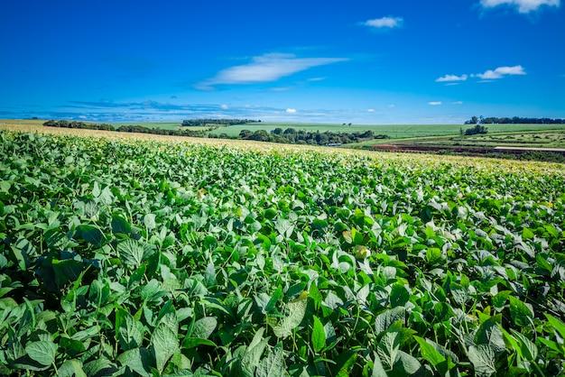 美しい大豆農園(glycine max)と背景の素晴らしい青い空。
