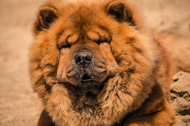 ビーチの砂の上にオレンジ色の毛皮を持つ秋田犬の美しい標本