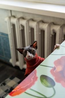 カメラを見ている赤いセーターの美しいスフィンクス猫