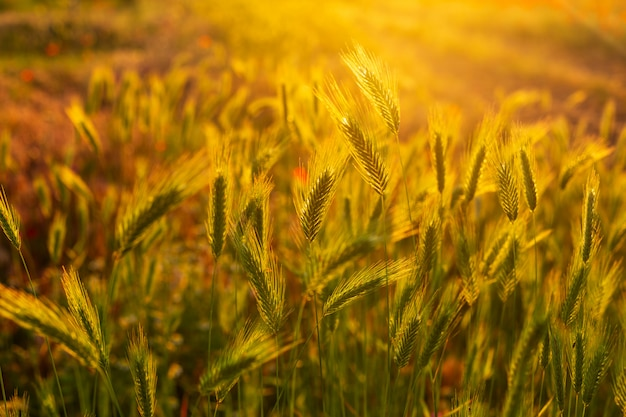Beautiful spikelets in the field at sunset wallpaper
