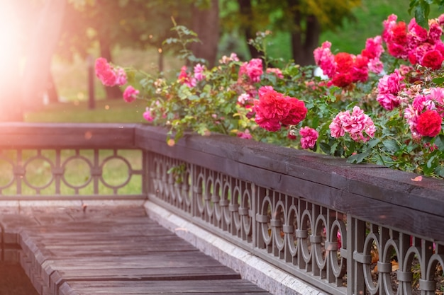 Beautiful spray pink roses by the bench. flowers lie on a wooden surface.