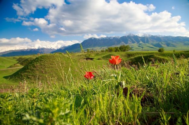 美しい春と夏の風景。緑豊かな丘、高い山々。春に咲くハーブ。山の野生のチューリップ。青い空と白い雲。観光のキルギスタンの背景。