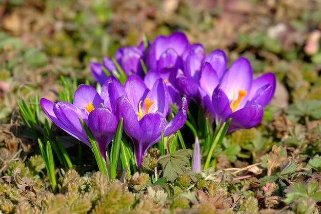 牧草地に咲くクロッカスの花のグループのクローズアップと美しい春の背景。春の明るい太陽の下で紫色のクロッカスのかわいいグループ。