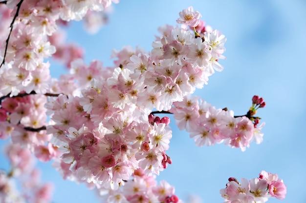 아름다운 봄 꽃. 벚꽃 가지가 가까이