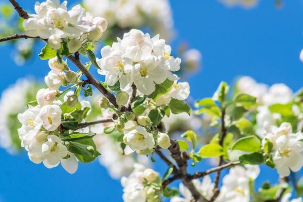 Beautiful spring blooming apple tree