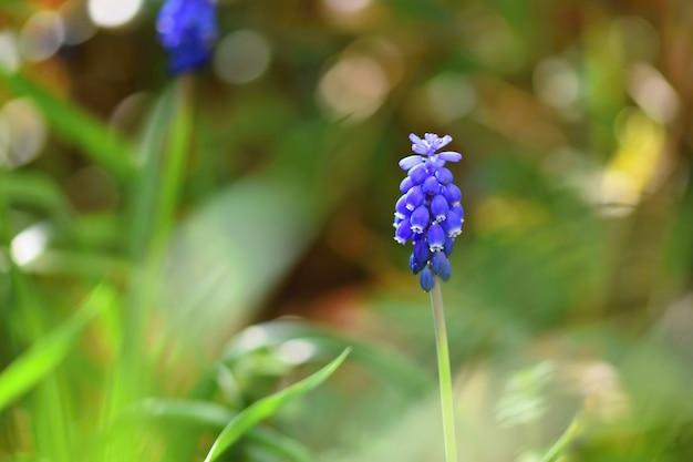 太陽と緑の草が美しい春の青い花のブドウのヒヤシンス。庭のマクロショット