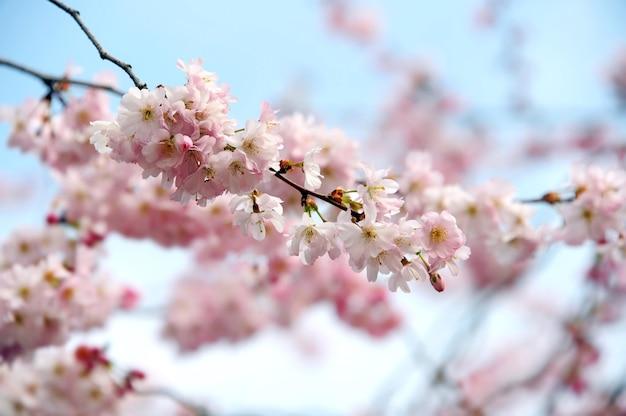 아름다운 봄 벚꽃 꽃