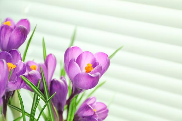 明るい背景、テキスト用のスペースに対して美しい春クロッカス