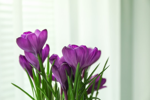 Beautiful spring crocus against light background, space for text