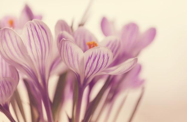 美しい春のクロッカスがクローズアップ