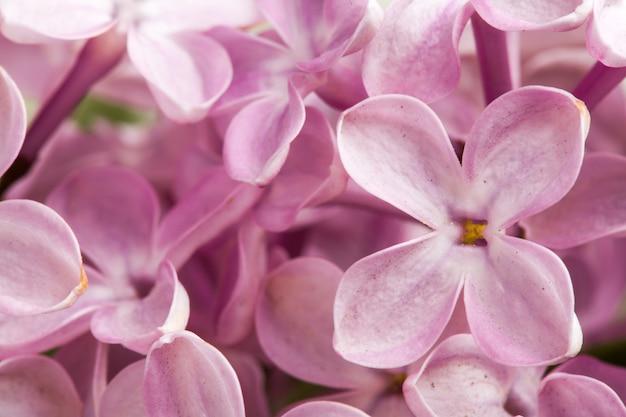 美しい春の珍味ライラックの花。マクロ写真。
