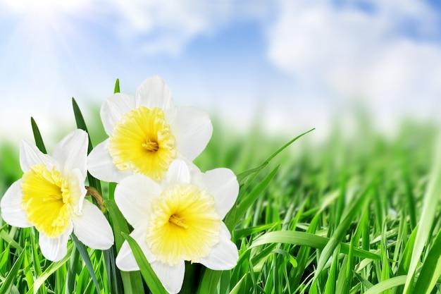 아름 다운 봄 꽃 배경-수선화 (수선화).