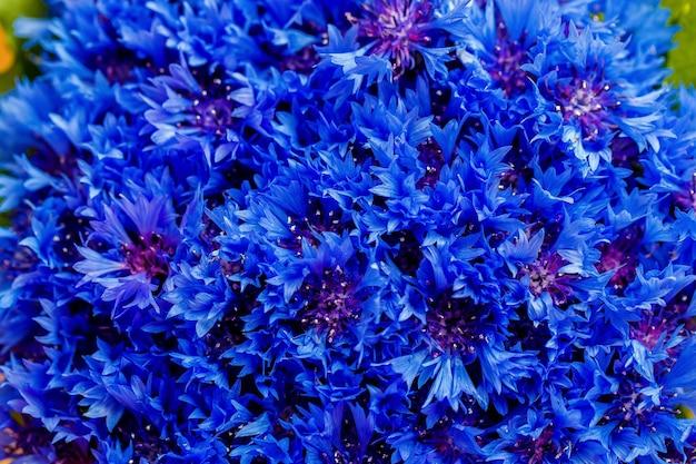 아름 다운 봄 꽃 배경에 파란색 centaurea cyanus입니다. 푸른 꽃 패턴입니다. 매크로 사진입니다.