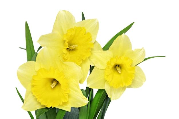꽃병에 있는 아름다운 봄 꽃:노란 수선화(수선화). 화이트 이상 격리.