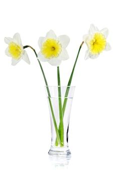꽃병에 있는 아름다운 봄 꽃: 황백색 수선화(수선화). 화이트 이상 격리.