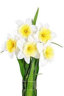 Красивые весенние цветы в вазе: желто-белый нарцисс (daffodil). изолированные над белым.