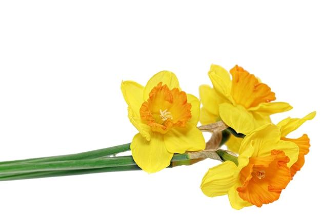 아름다운 봄 꽃: 오렌지 수선화(수선화). 화이트 이상 격리.