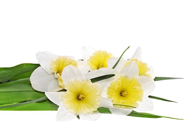 아름다운 봄 꽃: 황백색 수선화(수선화). 화이트 이상 격리.