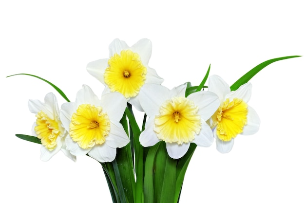 Beautiful spring flowers: yellow-white narcissus (daffodil). isolated over white.