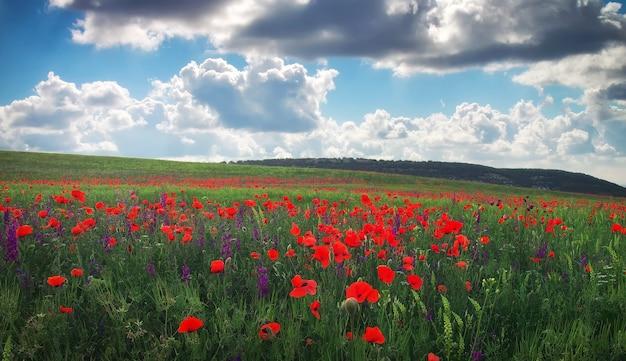 美しい春の風景。花、赤いポピーのフィールド。