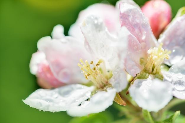 美しい春の朝。晴れた日。枝にリンゴの木の咲く花。