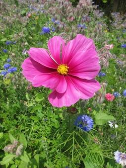 Красивые весенние розовые цветы космоса в парке