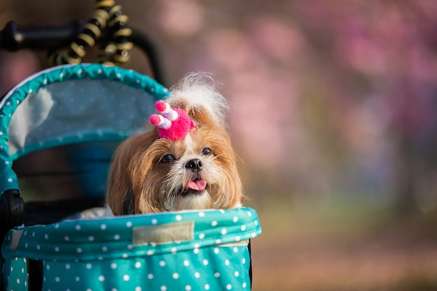 Beautiful spring portrait of shih tzu dog in the blossoming flower pink park.