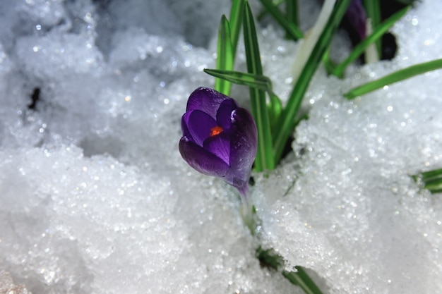 Beautiful spring purple crocus primrose on the snow in the morning