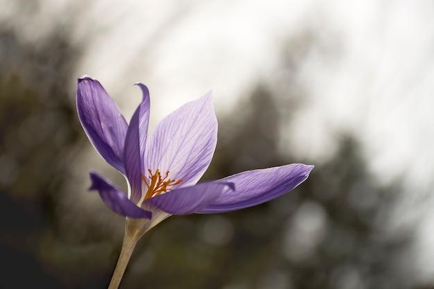 美しい春紫クロッカスソフトフォーカスボケ