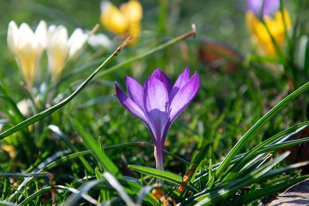 Красивый весенний фиолетовый, белый, желтый крокус на зеленой лужайке