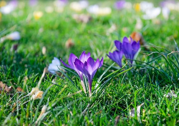 Красивые весенние фиолетовые, белые, желтые крокусы на зеленой лужайке