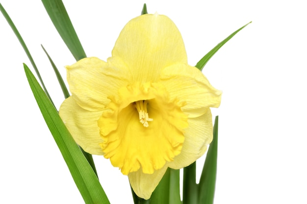 아름다운 봄 단일 꽃: 오렌지 수선화(수선화). 화이트 이상 격리.