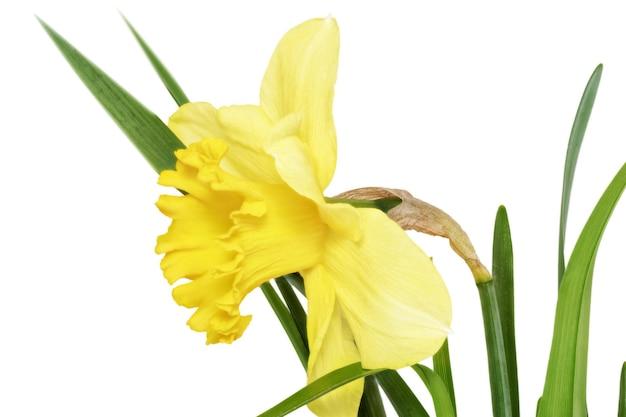 아름다운 봄 단일 꽃: 노란색 수선화(수선화). 화이트 이상 격리.