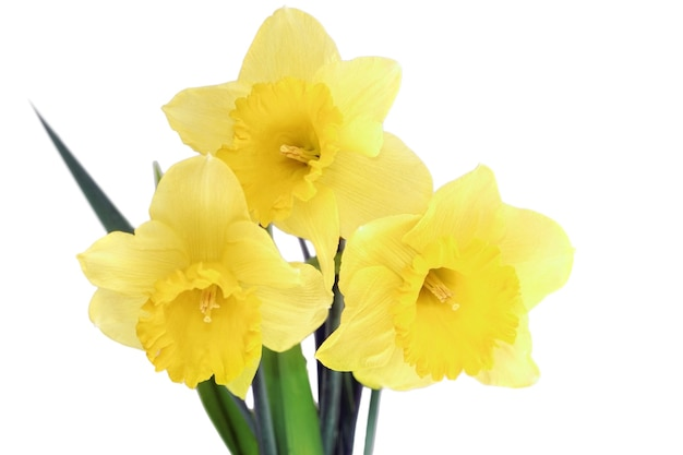아름다운 봄 세 꽃: 오렌지 수선화(수선화). 화이트 이상 격리.