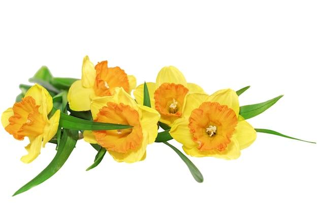 아름다운 봄 세 꽃: 노란 수선화(수선화). 화이트 이상 격리.