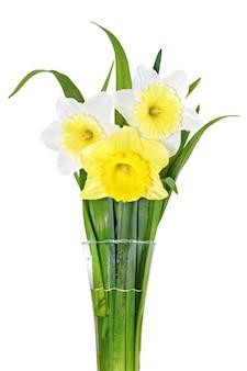 아름다운 봄 세 꽃: 황백색 수선화(수선화). 화이트 이상 격리.