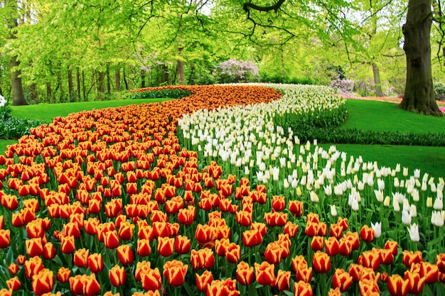 Beautiful spring tulips flowers in park in netherlands