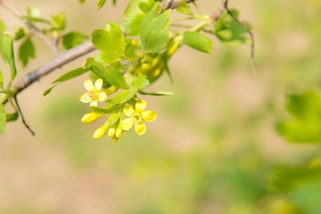 屋外で、黄色い花と葉を持つ美しい春の小枝
