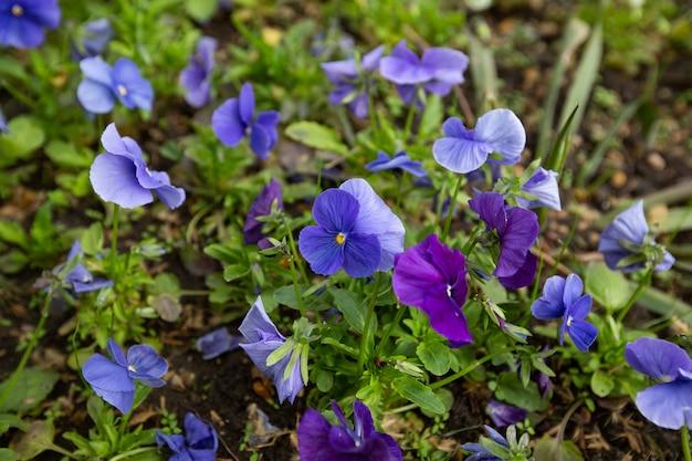 푸른 제비꽃의 정원 그룹에서 아름 다운 봄 제비꽃