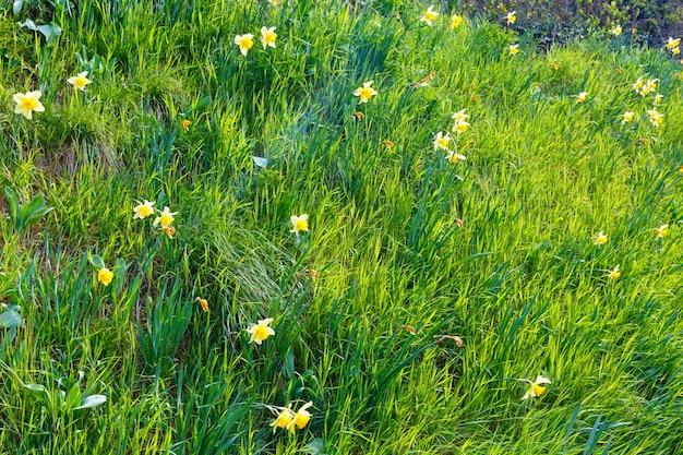 Красивые весенние желтые нарциссы на зеленой траве