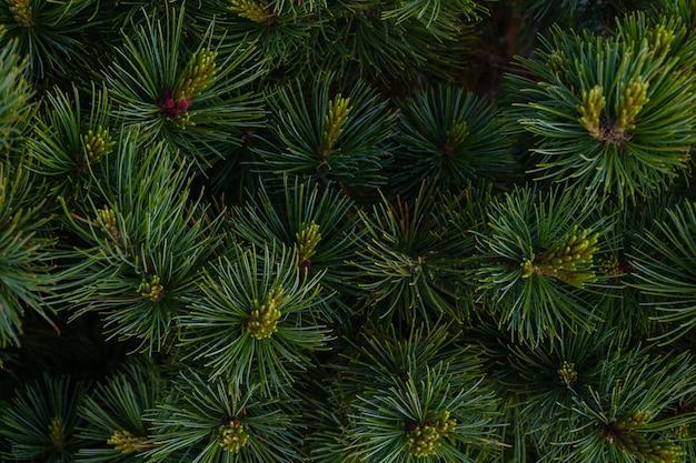 Красивая еловая ветка с иголками и молодыми побегами на фоне ветвей елки на природе