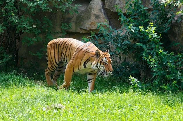 자연 속에서 걷는 아름 다운 강한 줄무늬 호랑이.