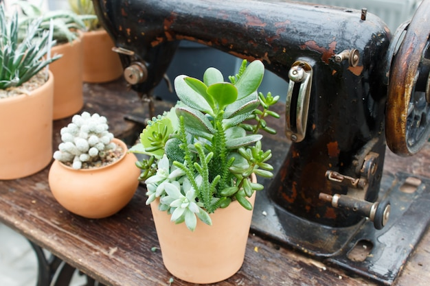 Beautiful succulent plant in greenhouse with old sewing machine
