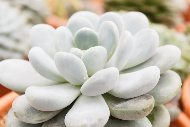 Beautiful succulent plant in greenhouse