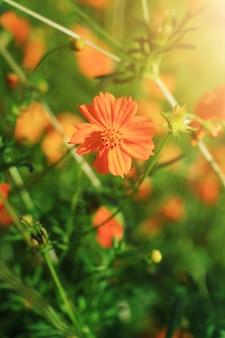 日光の下で美しい硫黄コスモスまたは黄色のコスモスの花のフィールド